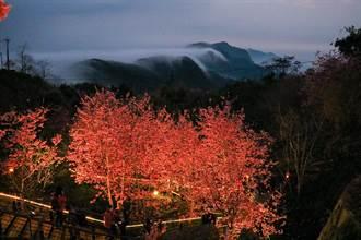 石棹櫻之道晚上也超美 夜櫻配雲瀑吸睛
