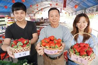 草莓盛產莓果大爆發 遊客蜂擁採果大讚甜美