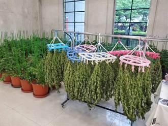 最低刑期從5年變1年 政院通過自家栽種大麻「非販毒」減刑