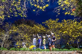 黃潮來襲  嘉義市河堤黃花風鈴木越夜越美麗