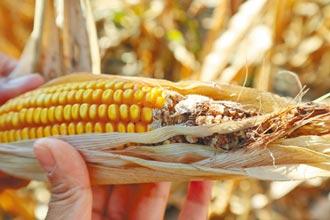 玉米重鎮 義竹鄉減產35%