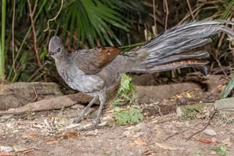 動物界最強騙炮王 雌琴鳥不想交配 雄鳥神操作專家服了