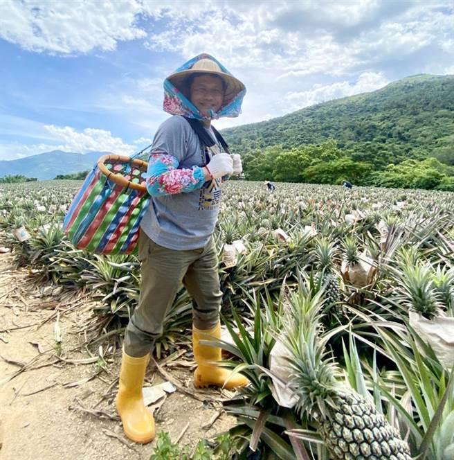 交通部長林佳龍曬出自己去年參訪鳳梨田的照片。(交通部提供/陳祐誠傳真)