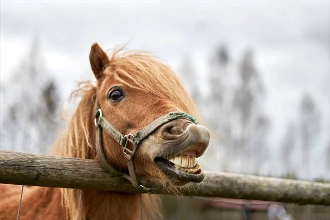 英国艾塞克斯郡一匹母马被过度配种,腹部严重肿胀,脸部出现白色斑块,肿胀的腹部让人以为是乳房,一度被误认为母牛。