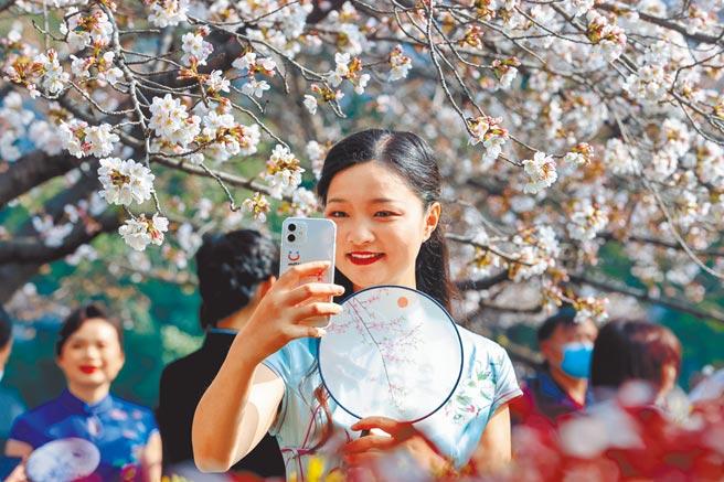 武漢大學和華中科技大學,因發表與疫情相關的論文,在最新QS醫學學科排名大躍進。圖為一穿旗袍的小姐在武漢大學櫻花大道自拍。(中新社)