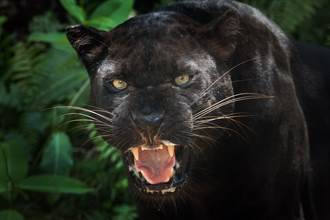 夜色裡冒兩隻眼突衝出黑豹 攝影師蹲點半年拍到珍稀畫面