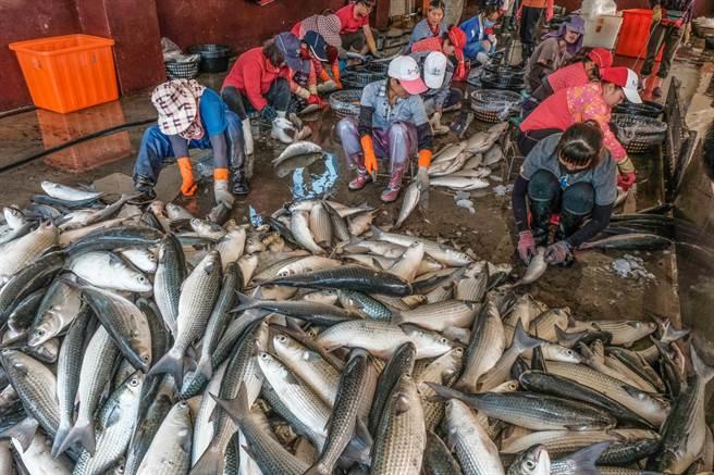 農委會公告畫設的竹北市水月休閒農業區內,有知名的拔仔窟烏魚養殖區,漁民忙著採收烏魚子。(羅浚濱攝)