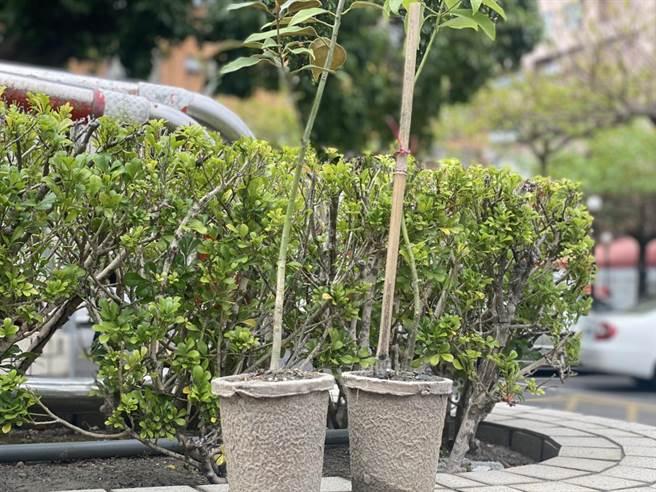 植樹節即將到來,林務局台東林區管理處首場贈樹苗活動6日在台東森林公園舉辦,首度嘗試以紙盆代替塑膠盆。(蔡旻妤攝)