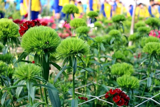 嘉義市育人國小發展「小花農」特色課程長達10年之久,今年種植相當討喜的綠石竹花,將分3天在校門口義賣。(呂妍庭攝)