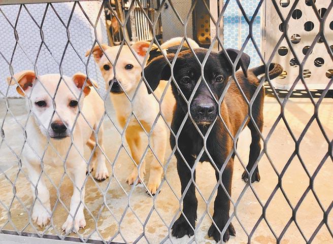 台中市動物之家后里園區將於4月4日開幕,目前進行試營運,50隻犬貓已進駐。(陳淑娥攝)