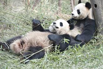 日本動物園大貓熊4年來首次交配成功 園方喜曬親密互動
