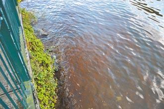 花蓮鯉魚潭染紅 葡萄球藻惹禍