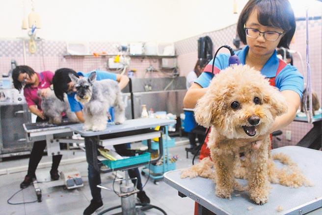 台灣寵物貓狗數量持續攀升,甚至就快要超越14歲以下孩童總人數,寵物美容需求大增,除了傳統的洗澡、修毛造型,還有紓壓按摩及SPA療程,不輸給一般人。(本報資料照片)