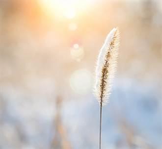 北海道滴水成冰 狗尾草凍成標本 美得像打了蠟