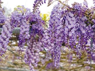 竹崎樱花近尾声 紫藤接力绽放