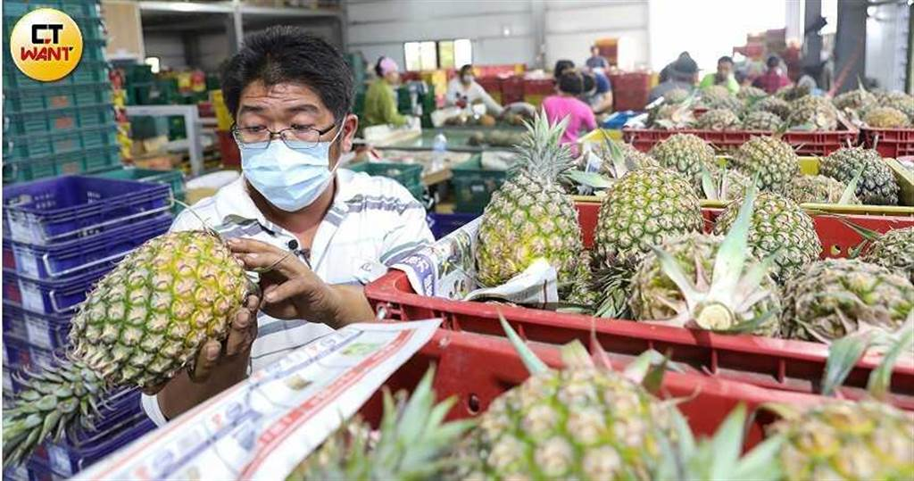 鳳梨自3月起開始盛產採收,由於銷往大陸中斷,果農轉往國內或日本市場等其他通路。(圖/張文玠攝)