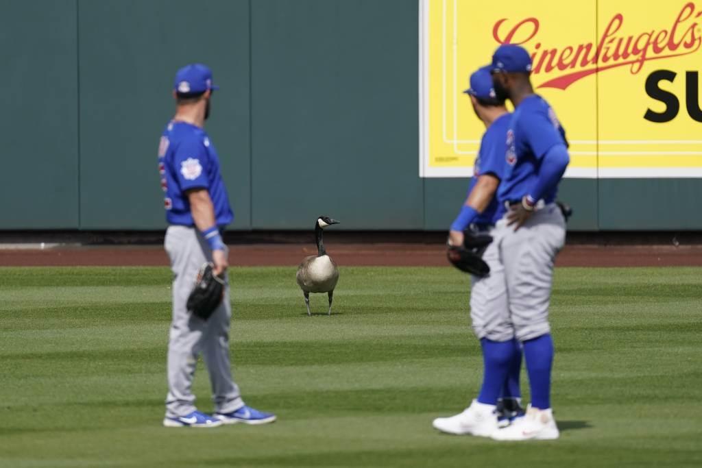 小熊球員無法驅離闖入的鵝,只好繼續比賽。(美聯社資料照)