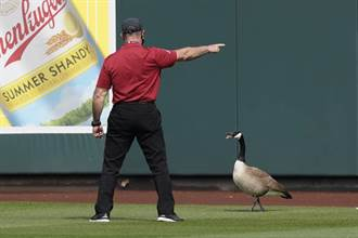 MLB》野生鵝闖入比賽 拒絕離去還幫忙守備