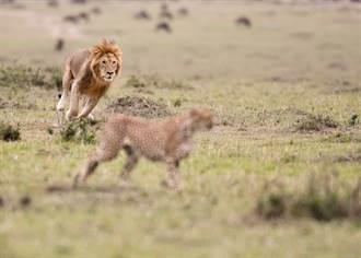 發現獵豹蹤跡  一下車竟跳出2猛獅將他撕咬吞肚