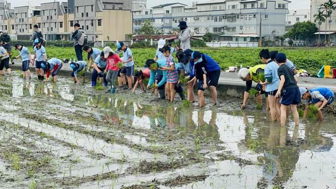 吉安鄉農會邀請稻香國小師生,在一旁5分地農田種下吉野一號米,預計6月收成,11月釀成,目標製作1千瓶清酒。(吉安鄉農會提供/羅亦晽花蓮傳真)
