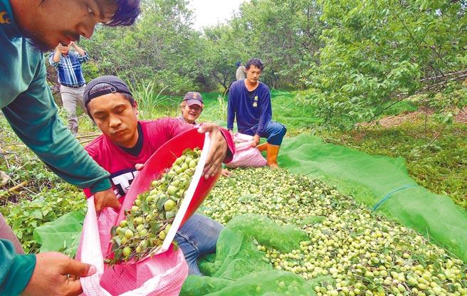 台東今年青梅產量比去年多出5倍,因有民間蜜餞加工廠收購,梅農安心採收 。(莊哲權攝)