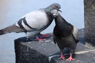 鴿子當機15秒搖頭100下 馬達式狂抖網驚:千萬別碰