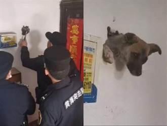 牆壁破洞長出狗頭 住戶見真相傻眼:狗急跳牆是真的