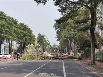 嘉義市路樹無預警倒塌 3層樓高黑板樹橫路面