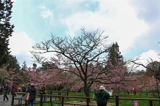 阿里山樱花季开幕 阿龟樱满开、樱王含苞待放