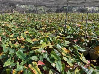 受1月寒害衝擊 林青山火鶴花開不到1成 外銷受影響