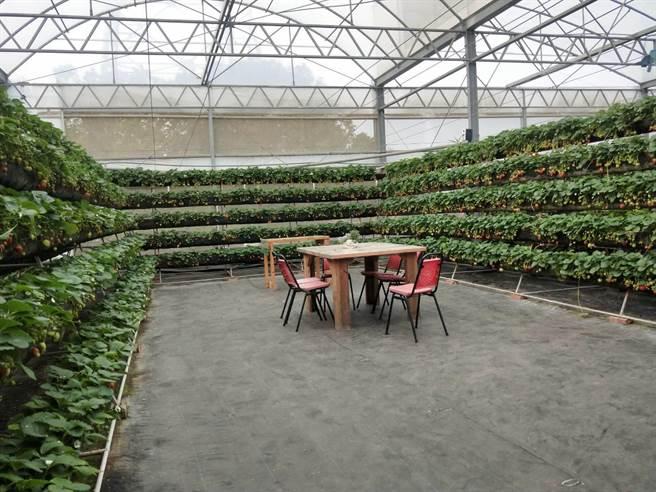 沐光農場草莓園打造360度的環景草莓牆,讓採果民眾直呼好好拍。(陳淑娥攝)