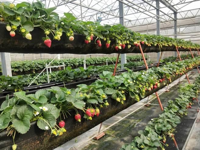 沐光農場草莓園採高架溫室種植,採果時非常方便。(陳淑娥攝)