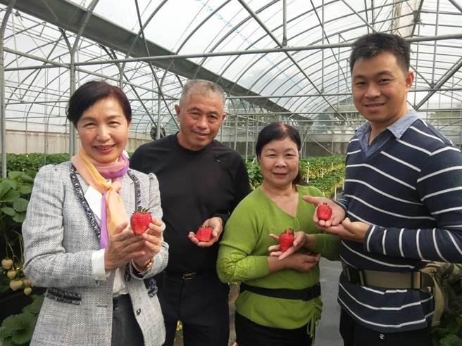 沐光農場草莓園又紅又漂亮,令人垂涎三尺。(陳淑娥攝)