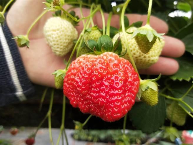 沐光農場草莓園的頭花超巨果,要看運氣才能採收的到。(陳淑娥攝)
