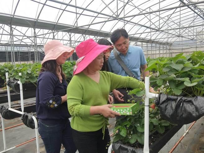 工作人員教遊客如何正確採草莓。(陳淑娥攝)