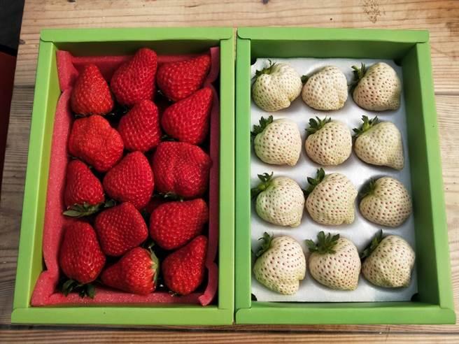沐光農場的紅白草莓非常漂亮,令人垂涎三尺。(陳淑娥攝)