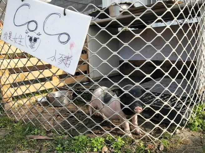 可愛迷你豬。(陳淑娥攝)