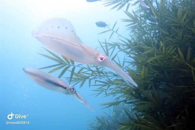 軟絲身體呈半透明狀,兩側有寬大的橢圓肉鰭,好像帶著兩片水袖在海中翩翩起舞。(圖/王國昌提供)