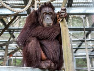 全台第一隻透過超音波產檢!人猿媽媽5月喜迎二寶