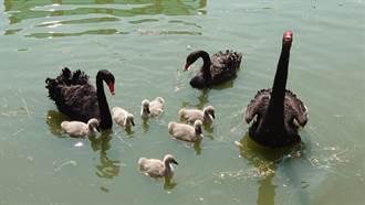 崑大萌寵鵝命名 華歌鵝、香奈鵝勝出