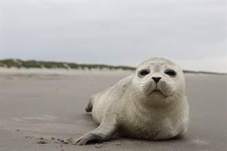 无助小海豹被暴风雨冲上岸 遭人类包围竟被「摸到吓死」