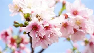 粉紅商機夯 星級飯店住房優惠、櫻花主題餐點吸客
