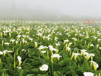 竹子湖海芋季 3月底開跑