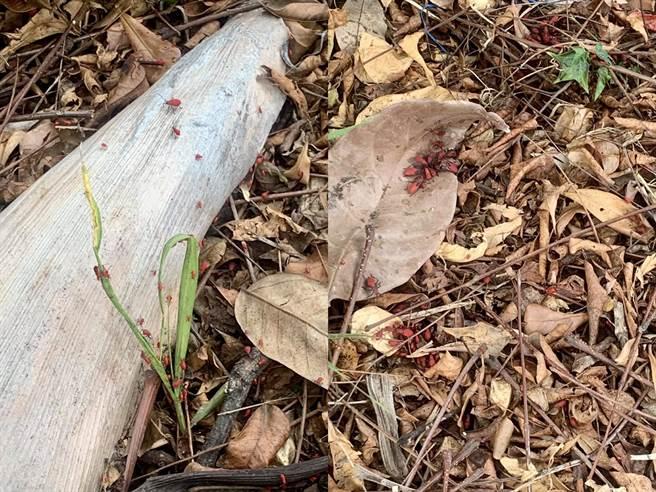 一名網友拍照時發現樹葉上有一群會動的枸杞,仔細一看才發現樹葉上堆滿了大大小小的蟲,如同密集恐懼症的惡夢,恐怖景象令她崩潰。(組圖/截自臉書 爆怨公社)