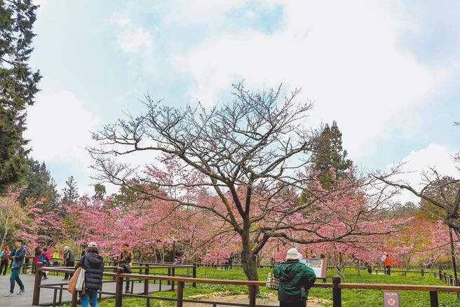 位於嘉義縣阿里山鄉的阿里山國家森林遊樂區內的櫻王因今年天氣冷,綻放時間延期,目前仍含苞待放,預計3月底才會盛開。(張亦惠攝)