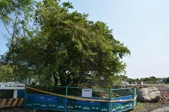 台灣原生植物復育 火刺木重返花蓮木瓜溪