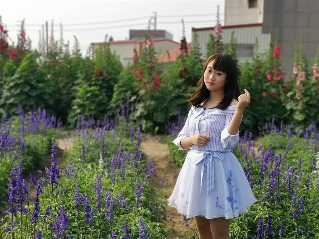 學甲蜀葵花盛開,吸引遊客前往拍照賞花。(劉秀芬攝)