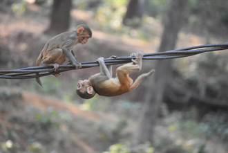 潑猴揪同伴把電線當溜索玩 超狂特技網看傻:挑戰進化論