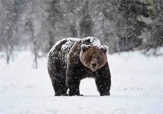 滑雪遇棕熊狂奔追殺 教練捨身當誘餌畫面驚險