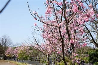 白色情人節 三芝「三生步道」櫻花綻放